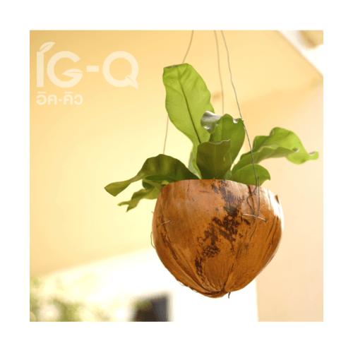 IG-Q กระถางมะพร้าว คละขนาด ครึ่งลูกปากเรียบ  -